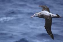Wandering Albatros - Volker Siegel (2012)