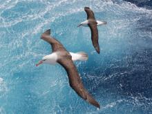 Albatros de ceja negra – Fotografía:  Nicolas Gasco